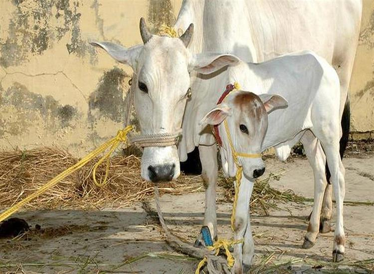The Independence:Odisha-Government-Decision-to-auction-cow-from-Gosala