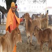 The Independence:Yogi-Adityanath-Cow-Slaughter-Cow-Protections